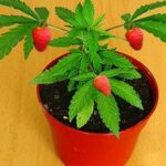 Biology student has been denounced for crossing a weed plant with strawberries